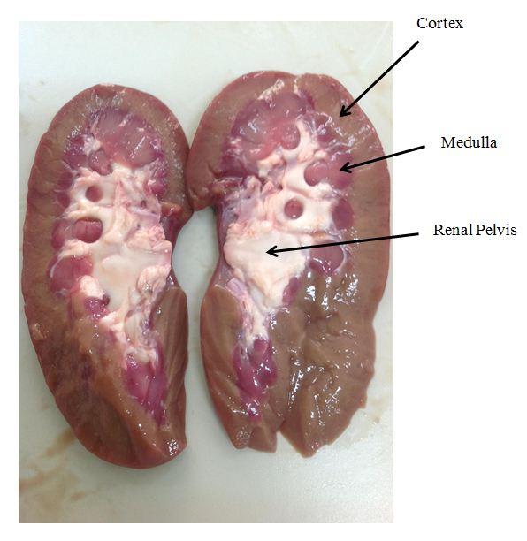 Cardiovascular System  Human Veins Arteries Heart